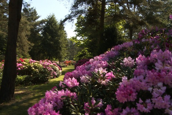 Rhododendron Karlsbad